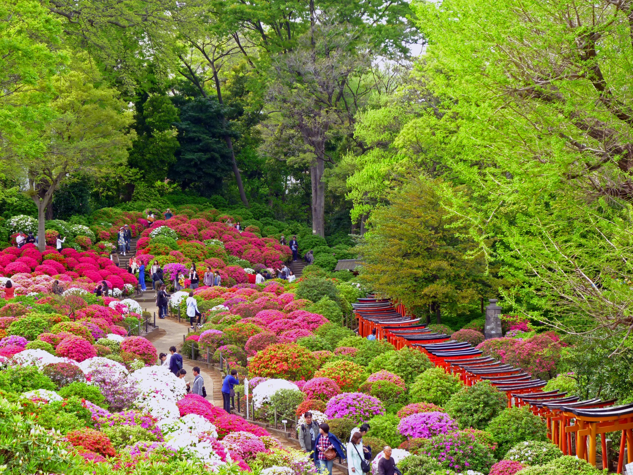 Over 100 species of azalea plants at this festival voyapon - Flowers planted may complete garden ...