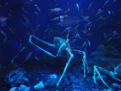 Spider Crab at the Aquarium with incredible leg span!