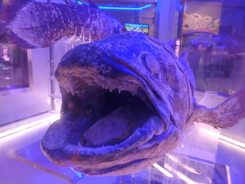Looking inside the mouth of a coelacanth at the Coelacanth Museum