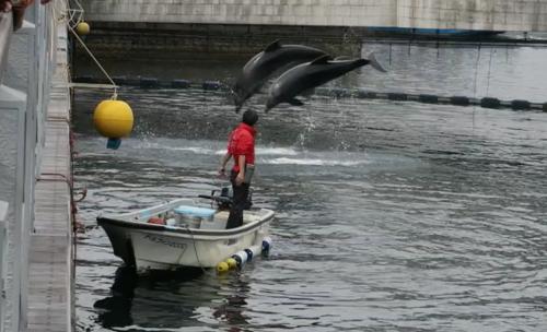 free dolphin show in a river near an aquarium in Kagoshima.