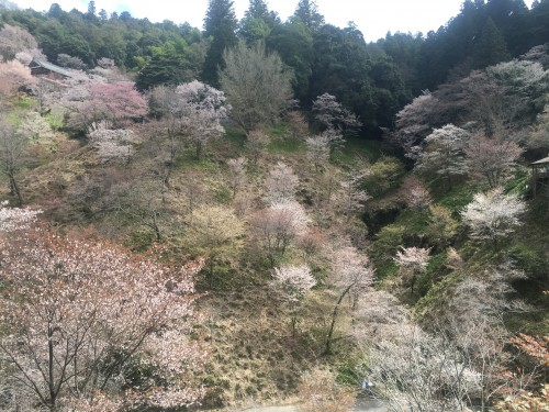 Cherry blossoms across Mount Yoshino, Nara mountain famous for its cherry blossoms