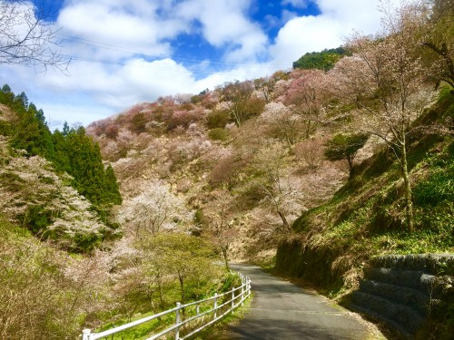 The Nara mountain Mount Yoshino green interspersed with cherry blossoms