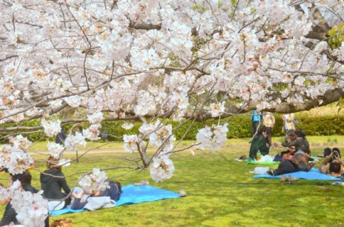 People under sakura trees during ohanami in Japan.
