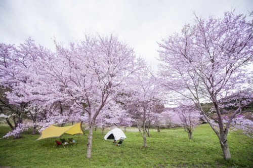 Cherry blossoms, during ohanami in Japan.