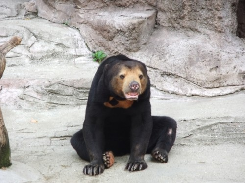A bear used to help explain the Japanese concept of sorry or sumimasen.