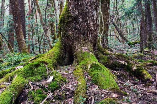 Aokigahara forests close to Mt. Fuji