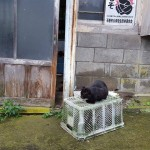 The legendary Cats of Tashirojima