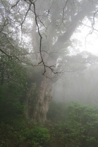 The hiking scenery in Yakushima, Kagoshima, Japan.