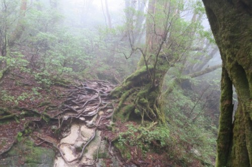 A hiking trail in Yakushima, Kagoshima, Japan.