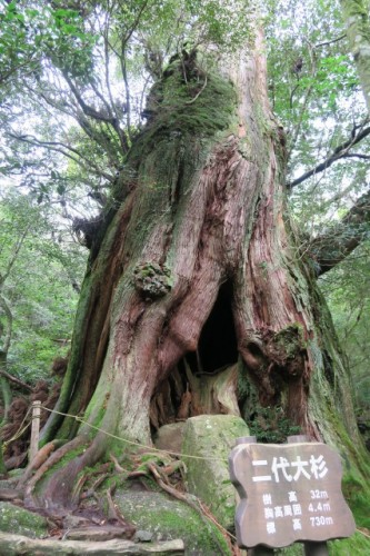 A big nidai osugi in Yakushima
