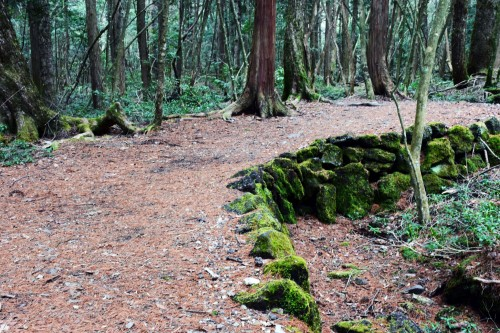 Trees found on a hiking trail in the forest of Aokigahara while hiking.