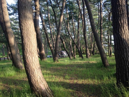campground, with lots of pine trees