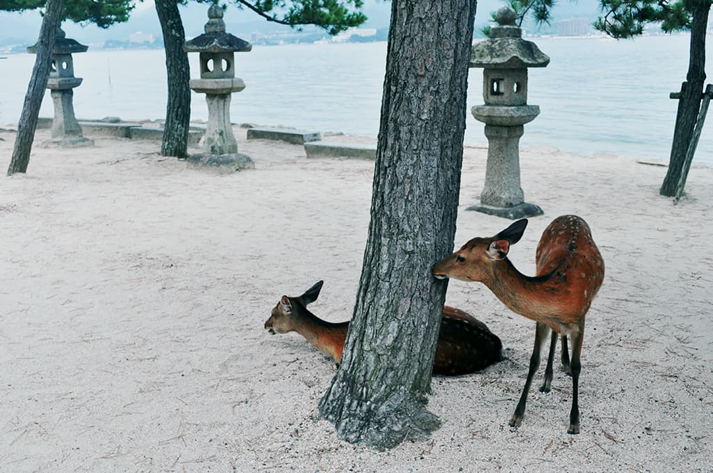 Explore the local food, culture and deer in Miyajima