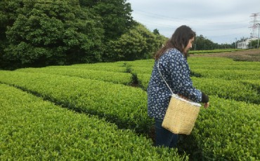 Green tea picking in Shizuoka