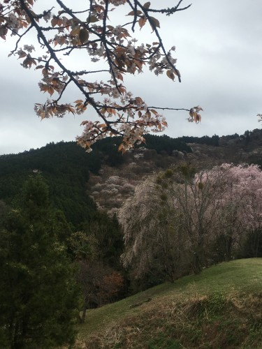 The mountain Mount Yoshino grows beautiful Nara cherry blossoms