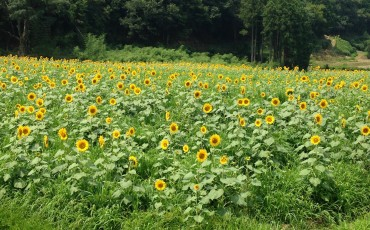 Yosano Sunflower Fields Kyotango Tango Kyoto Summer Nature Coast