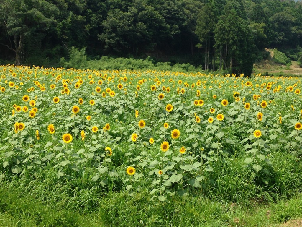 The endless sunflower fields in Yosano town, northern Kyoto, Japan.