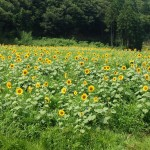 Northern Kyoto: Summer Sunflower Viewing in Tango!