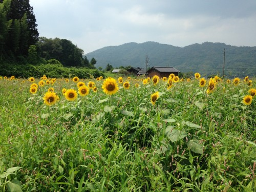 The sunflower spots with mountains in Yosano town, northern Kyoto, Japan.