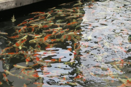 Carp farm is breeding various types of nisiki koi with traditional way