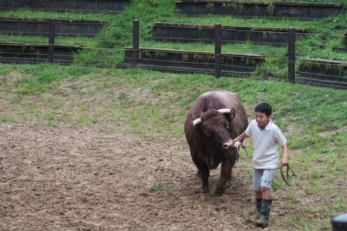 High rank bull take to a ring