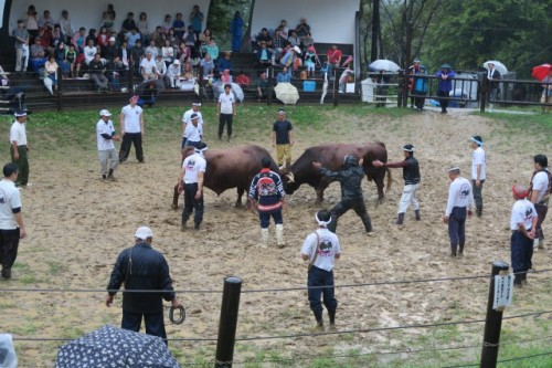 Here is a game of bull fighting!