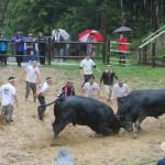 Locking horns: Bull fighting (aka. Bull Sumo ) in Yamakoshi!
