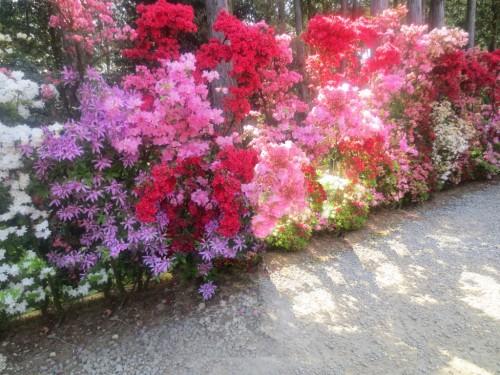 Nagasaki Azalea Festival in Matsumoto Park