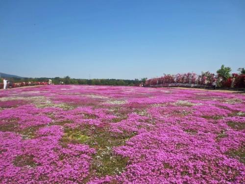 """Shiba Sakura"" is the cherry blossoms on the ground."