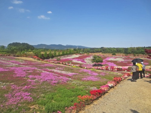 Lawn Cherry Blossoms in Matsumoto Azales Park