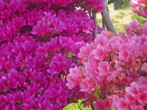 The Azalea is a flower that has a long history in Japan.