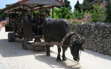 Exploring Taketomi by Water Buffalo Cart at Taketomi island, Okinawa