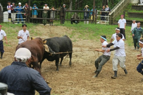 This is how the bull fight is goind
