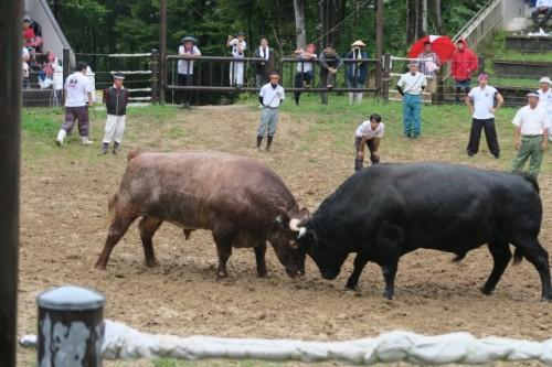 Both of bulls looks quite powerful