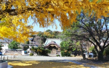 beautiful ginkgo tree with yellow leaves in Yugyo-ji temple
