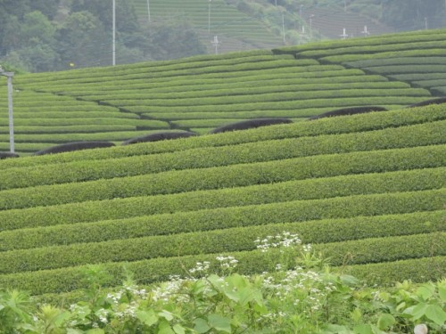 The majority of Japanese green tea comes from Shizuoka prefecture.