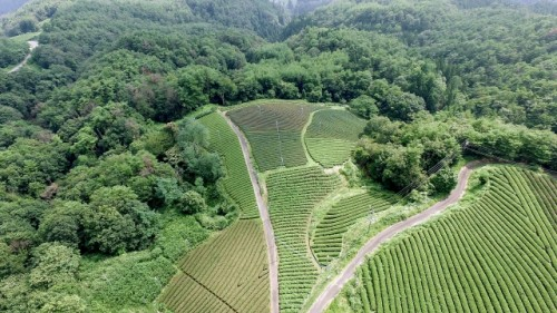 green tea farms in Japan