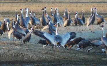 crane bird watching in Izumi