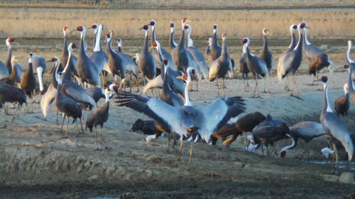Cranes in Izumi