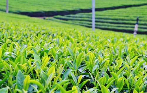 The green tea farm in Japan.