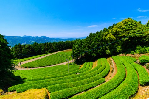 tea garden in Ureshino, Saga
