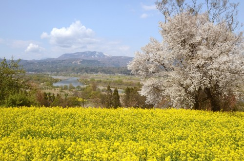 Cherry blossoms and canola flowers during spring in Iiyama