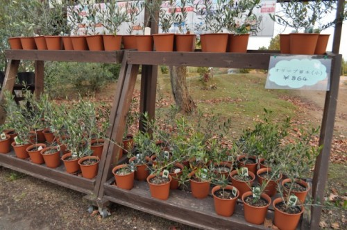 olive trees for purchase