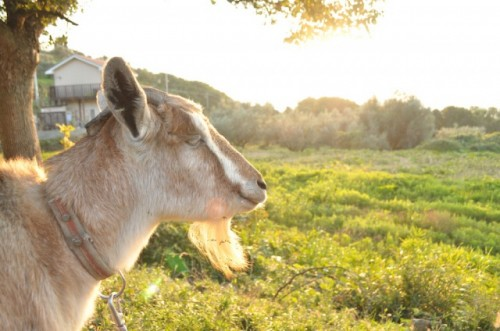 goat in the olive park
