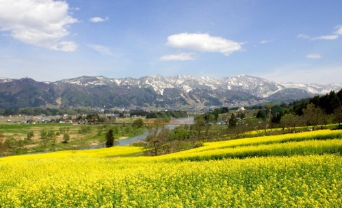Nanohana (canola) flowers in full bloom in Iiyama