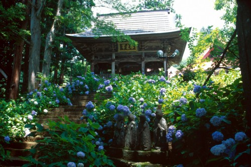 Hydrangea Temple in June
