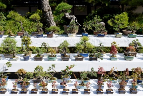 "Bon-sai(盆栽) literally translates to ""tray planting,"" which is exactly what the art of bonsai is."