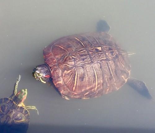 Visit the Turtles at Sankeien Gardens