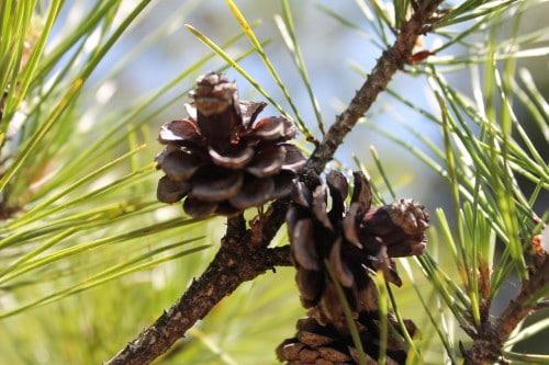 A Pine Tree in Jorakuen Japanese Garden, Fukushima, Japan.