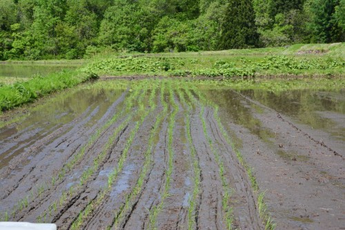 Crooked Rice Paddy Lines in Takane